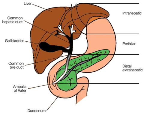 liver_cholangiocarcinoma